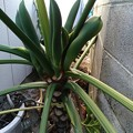 Photos: imuさんから送られた写真分からない花名観葉植物セローム :サトイモ科です。