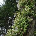 テイカカズラ(定家蔓)  キョウチクトウ科