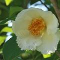 夏椿:シャラ(娑羅樹)の木