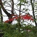 夏に赤い葉のヤマウルシ(山漆) ウルシ科