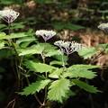 コアジサイ(小紫陽花)  アジサイ科