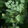 アシタバ(明日葉)  セリ科 花 別名:(アシタグサ、鹹草)、 (ハチジョウソウ、八丈草)