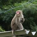 ☆トミーさんこんなポーズでどうかしら~ニホンザル(日本猿) オナガザル科