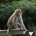 お百姓さんご免なさい~ニホンザル(日本猿) オナガザル科