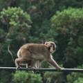 つなわたりじょうずくなったね~ニホンザル(日本猿) オナガザル科