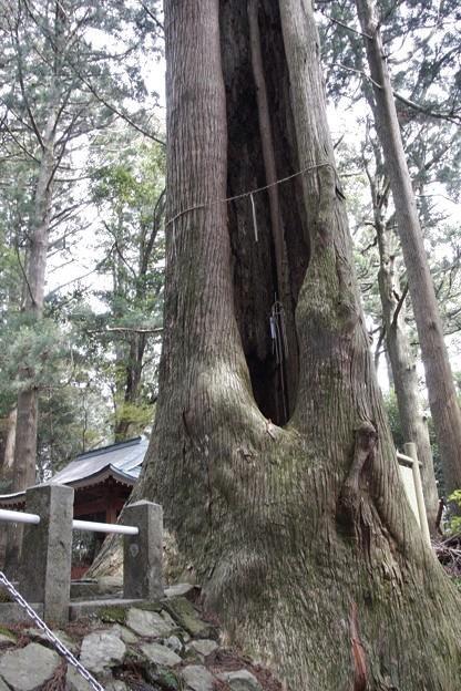 わたし~フテイコン(不定根)杉の木:ヒノキ科