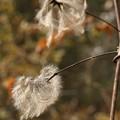 ハンショウズル(半鐘蔓) キンポウゲ科の種子