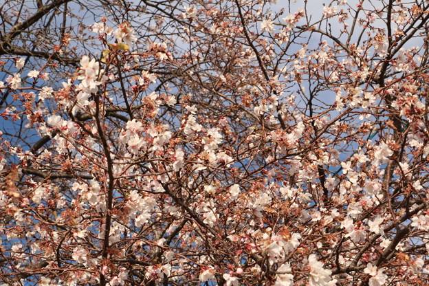 Photos: ジュウガツザクラ(十月桜) バラ科