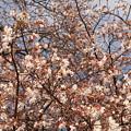 ジュウガツザクラ(十月桜) バラ科