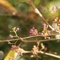 ヤブムラサキ(薮紫)  クマズラ科