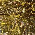 ヤドリギ(宿り木、宿木、寄生木) ビャクダン科