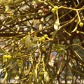 Photos: ヤドリギ(宿り木、宿木、寄生木) ビャクダン科