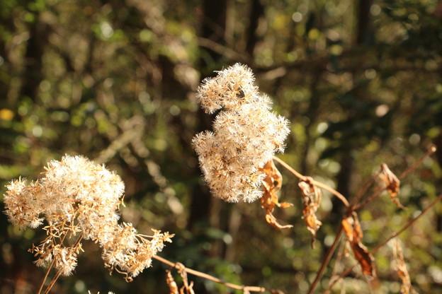 ヒヨドリバナ(鵯花 )  キク科綿毛