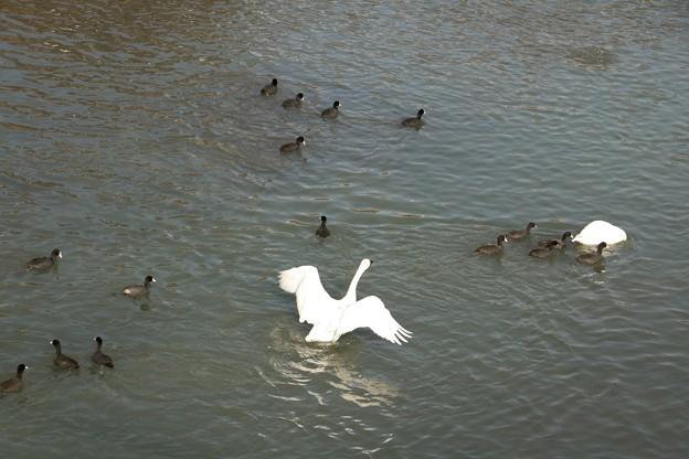コハクチョウ(小白鳥)  鳥綱カモ 目カモ科とオオバン(大鷭)ツル目クイナ科