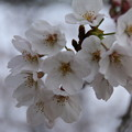 桜_公園 D3332