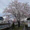 桜 D3382