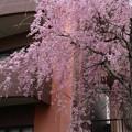 枝垂れ桜 D3384