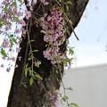 枝垂れ桜 D3386