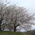 桜_市役所 D3393