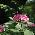 紫陽花_公園 D4327