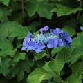 紫陽花_公園 D4331