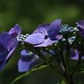 紫陽花_公園 D4334