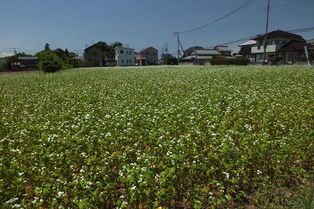 ソバ畑 F0179