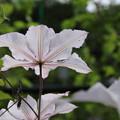 クレマチス_植物園 D4149