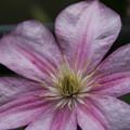 クレマチス_植物園 D4152