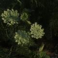 ニンジンの花 F0121