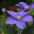 クレマチス_植物園 D4154