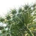 ニンジンの花 F0124