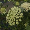 ニンジンの花 F0125