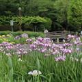 アヤメ祭り_公園 D4246