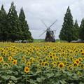 向日葵_公園 D4571