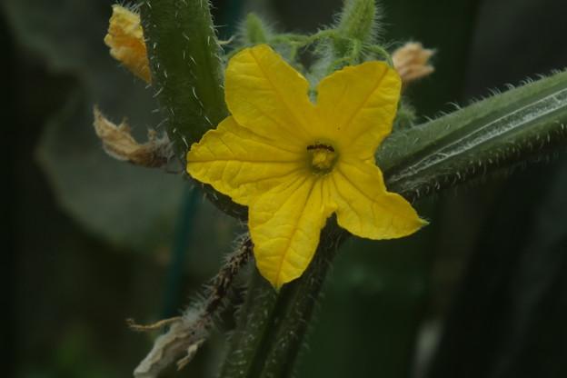 キューリの花 F0248