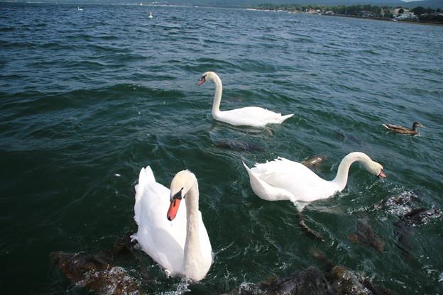 白鳥_山中湖 D4964