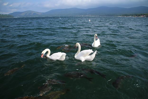 白鳥_山中湖 D4966