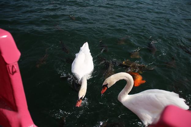 白鳥_山中湖 D4970