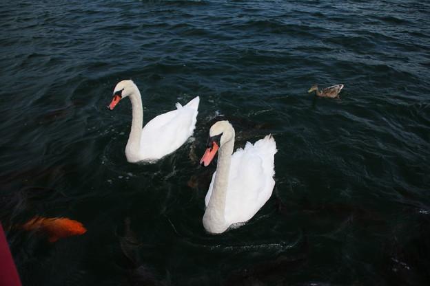 白鳥_山中湖 D4973