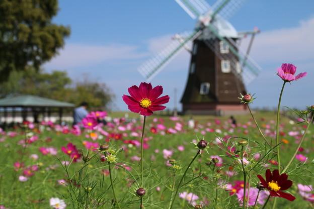秋桜と風車_公園 D5299