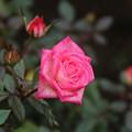 薔薇_公園 D5384