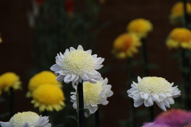 写真: 菊花壇展 D5804