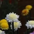 菊花壇展 D5804