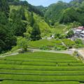 Photos: 緑茶の里