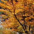 Photos: 安居川の黄葉