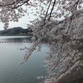 釜房ダムの桜