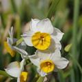 写真: 野比の水仙