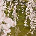 聚楽園 桜6