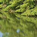 写真: 新緑の映り込み